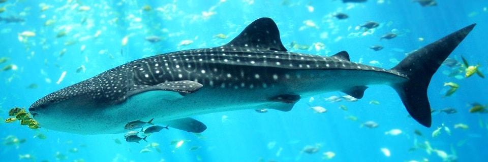 Китовая акула в океанариуме Джорджии